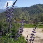 Silver bush lupin