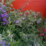 Detail of mixed flower bed, with Pitcher Sage (Lepechinia fragrens)