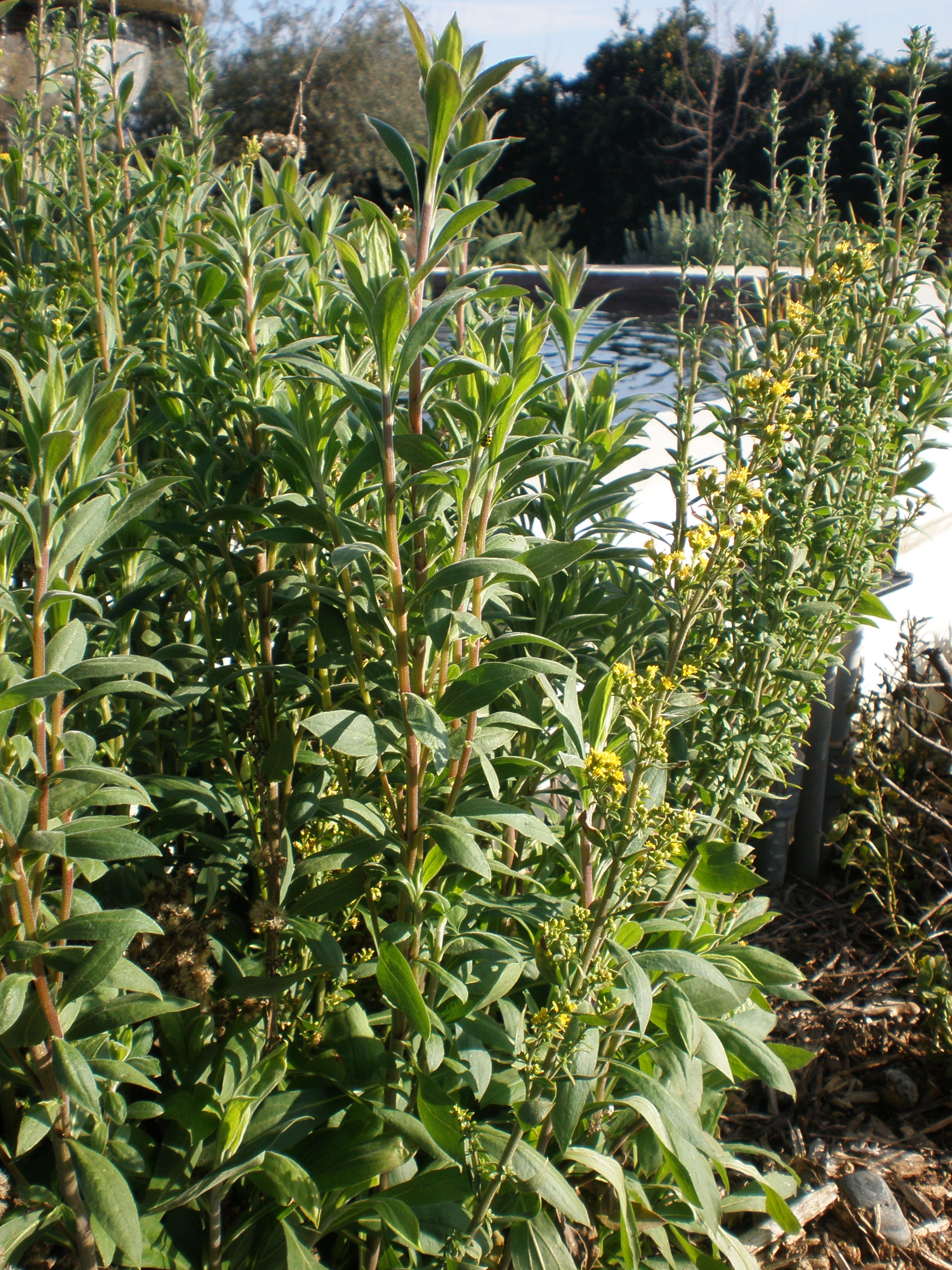 winter in the california native plant garden u2013 quercus landscape