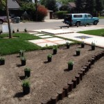 A new low-lawn garden being installed in Visalia, CA