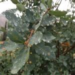 Quercus_douglasii