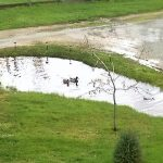 Wild ducks making use of our stormwater erosion-control catch basin.