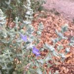 Salvia dorii has lovely blue flowers spring through frost