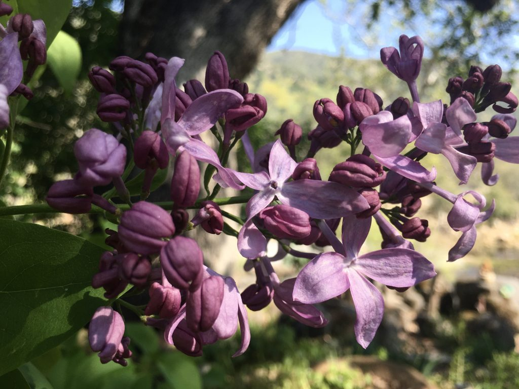 Common Purple Lilac
