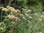 Yarrow mix in summer