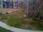 A mix of CA native bunch grasses border lower playground
