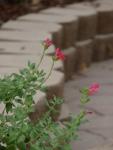 Salvia microphylla 'Maraschino'