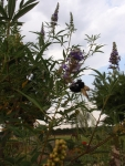 Vitex and the bee